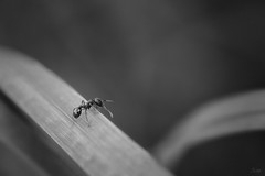 On the edge (sdejongh) Tags: ant blackandwhite insect macrophotography monochrome nature wildlife