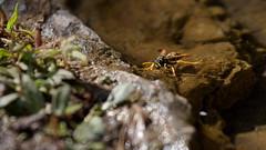 drinking wasp (Geonaut) Tags: ita italien orune sardegna sardinien2017 fontesacradisutempiesu wespe quelle ef70200mmf4lisusm marumidhgachromat3 durst wasser
