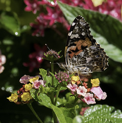 Butterfly_SAF2597-1 (sara97) Tags: junoniacoenia buckeye butterfly commonbuckeye copyright©2017saraannefinke endangered insect missouri outdoors photobysaraannefinke pollinator saintlouis towergrovepark midwest