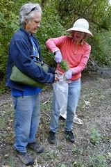 *Dittrichia graveolens, STINKWORT. (openspacer) Tags: ann asteraceae dittrichia invasive john nonnative people removal riparian stinkwort