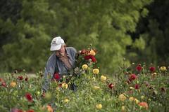 Le temps de la récolte **--- ° (Titole) Tags: florist titole nicolefaton dahlia field cap greenary worker flowerproducer fossourier thechallengefactory