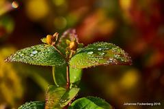 Gute Nacht Tropfen (grafenhans) Tags: sony alpha 700 alpha700 a700 tamron 2870200 bokeh tropfen tautropfen farben color grafenwald bottrop nrw blatt blüte blüten natur