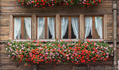 Desde la calle (_altaria01669_) Tags: suiza schweiz switzerland ch suisse myswitzerland my ventana window ventanas windows plantas flores planta flor madera wood cortina cortinas