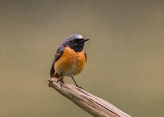Redstart ( Phoenicurus phoenicurus ) Male (Dale Ayres) Tags: redstart phoenicurus male bird nature wildlife
