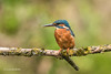 Kingfisher (Alcedo atthis) 750_0846.jpg (Mobile Lynn) Tags: birds kingfisher nature wild aves bird chordata coraciiformes fauna wildlife otterbourne england unitedkingdom gb coth specanimal coth5 ngc sunrays5 npc