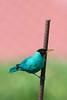 Costa-Rica-5586.jpg (ingmar_) Tags: costarica fauna gezin natuur vakantie vogel zomervakantie