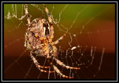 """""""Arachtober the 9th..."""" (NikonShutterBug1) Tags: macro closeup nikond7100 tokina100mm spider insects entomology nature wildlife spe smartphotoeditor arachnology araneology arachtober gardenspider orbweaver web"""