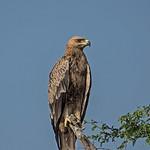 Tawny Eagle thumbnail