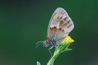 Coenonympha pamphilus (8)