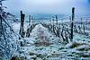 Frost im Weingarten am Hang des Manhartsberges bei Pulkau, Niederösterreich (WeZiHeu44) Tags: manhartsberg pulkau weinberg hang eis nebel raureif weinstock winter kalt weinviertel waldviertel niederösterreich