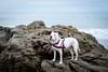 Paloma and the surfers (lauripiper) Tags: beach leocarrillostatebeach dogs americanstaffordshireterrier amstaff mutt mixedbreed ocean nikon d810 2017 paloma palomatheprettypittie