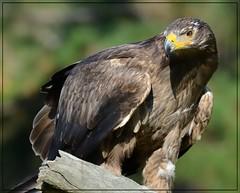 Tawny Eagle (Christine Fusco) Tags: aquilarapax tawnyeagle centerforbirdsofprey nature raptor awendawsouthcarolina eagle raptortrust rehabilitation