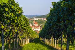 ... die letzten Trauben (marko-DD) Tags: wein vino weinberg rotwein landscape landschaft leaves himmel licht trauben