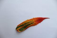 Leaf (daveandlyn1) Tags: leaf colours closeup iii f3556 efs1855mm 1200d eos canon