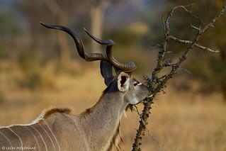 Kudu bull at dusk