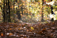The yellow one (Thijs de Bruin) Tags: leaves yellow geel forrest bos herfst autumn trees bomen