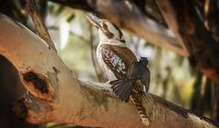 alice river - jackass v. willie wagtail #2/2 (Fat Burns ☮ (gone bush)) Tags: laughingkookaburra dacelonovaeguineae australianicon bird australianbird fauna australianfauna nikond500 nature kookaburra sigma150600mmf563dgoshsmsports aliceriver barcaldine queensland australia outdoors