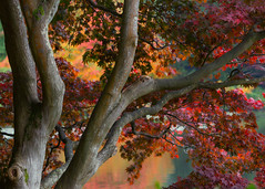 Autumn glory (V Photography and Art) Tags: tree coloursofautumn colours red gold yellow orange reflections autumn lake vibrant colourful
