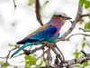 Lilac-breasted Roller (xrxss15) Tags: africa animalia animals aves birds coraciascaudatus coraciidae gabelracke gabelrake krugernationalpark lilacbreastedroller mpumalanga rollers southafrica tiere vögel outofacar