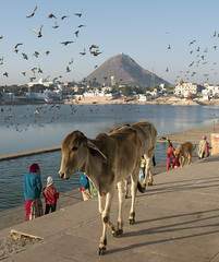 Pushkar Lake, India (Petr Svarc) Tags: asia brahma cattle cow cows gau ghat ghats hill hindu holy india indian lake mount mountain nagarpalika people person persons place pushkar rajasthan ratnagiri sacred savitri steps temple water