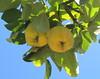 Marmelos (Américo Meira) Tags: portugal sintra fruto marmeleiro marmelo penedo cydoniaoblonga coing membrillo quince cotogno fruit