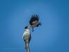 Battle in the suburbs... (Beckett_1066) Tags: birds hawkesbury redbank kite pee wee