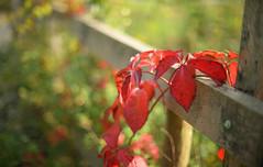 Red Hot Fence...  HFF (KissThePixel) Tags: happyfencefriday happy fence fencefriday fencebokeh fencephotography friday red redleaves redleaf nikon nikondf 50mm ai ailens aperture 12 f12 nikkor woodenfence bokeh bokelicious dof dofalicious depthoffield macro light autumn autumncolours autumnlight autumnwalk october