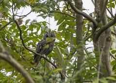 Chouette hulotte (JFB31) Tags: chouettehulotte strixaluco tawnyowl strigiformes strigidés