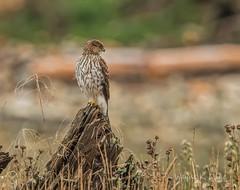 ND5_9196.jpg Coopers Hawk on Stump (Wayne Duke 76) Tags: coopershawk raptor woodenstump bird