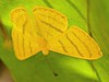 ASTRAEODES AREUTA (Westwood, 1851) (robertoguerra10) Tags: lepidoptera riodinidae butterfly yellow astraeodes areuta medium size tamanho medio america brasil south brazil sul nordeste brasileiro northeast side under leaf season dry riodininae nikon d7000