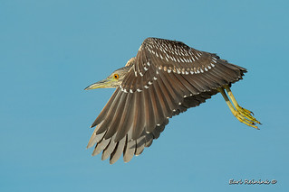 Heron going somewhere..