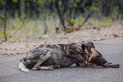 African wild dog (Aldo van Zeeland) Tags: zuidafrika krugernationalpark african wild dog lycaon pictus san