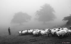 Aldaminazpin (Jabi Artaraz) Tags: jabiartaraz jartaraz zb euskoflickr pastor ovejas rebaño ardiak artaldea gorbea aldaminazpi nature natura natur natureselegantshots naturesfinest naturessilhouettes natural