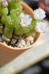 DSC_6538 Ophthalmophyllum longum オフタルモフィルム ロンガム