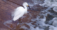 Can't Blink, Might Miss A Fishy (Kaptured by Kala) Tags: snowyegret egret whiteegret smallegret aquaticbird aquatic waterfowl waders whiterocklake dallastexas lowerspillwaysteps fishing intense focused