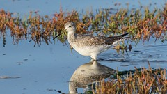 Greater yellowlegs (Tringa melanoleuca) (Tony Varela Photography) Tags: grye greateryellowlegs photographertonyvarela tringamelanoleuca yellowlegs