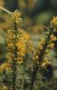 Ulex gallii flowers, 10 September 1971. Fygys, Gwaelod (Mary Gillham Archive Project) Tags: 10091971 1971 21822 gwaelodygarth planttree st1184 ulexgallii wales westerngorse unitedkingdom gb