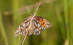 Autumn butterfly (Irina1010) Tags: butterfly grass autumn bokeh nature insect canon ty ngc npc