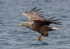 JWL0028  Sea Eagle... (jefflack Wildlife&Nature) Tags: whitetailedeagle seabirds seaeagle fisheagle wildlife wildbirds waterbirds lochs mull scotland seashore sea ngc npc