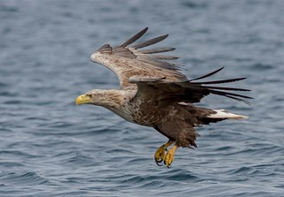 JWL0028  Sea Eagle...
