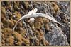 Gypaète 171026-31-P (paul.vetter) Tags: oiseau ornithologie ornithology faune animal bird gypaètebarbu gypaetusbarbatus bartgeier quebrantahuesos beardedvulture vautour rapace
