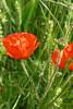 P1030900 (Guesscl) Tags: coquelicots nature normandie végétation verdure fleurs champs