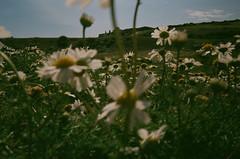 28300013 (annakimannakim) Tags: 35mm england uk seven sisters olympustrip35 olympus film