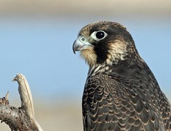 Nauset Peregrine, 11/1/17 (petertrull) Tags: elements