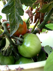My little balcony Tomato (kellyagrey) Tags: tomato garden balcony citygarden basil jalapeno pepper gypsypepper fresh food organic greenonion