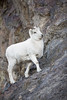 Dall Sheep Ewe (Outback Photo Adventures) Tags: dall sheep ewe lamb alaska ak canada yukon animal animals wildlife nature portrait rocks rock mountain run canon canon1dxmarkii 1dxmarkii 1dx 1dxii usa ca north america us