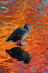 Autumn reflection (James_D_Images) Tags: autumn fall colour reflection pond duck rock ripples orange red blue vancouver british columbia