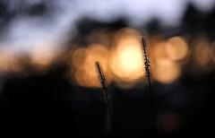 Die Gräser meinen, zum Sommerende sind sie trocken genug für ein Feuer. Die Verantwortung überlasse ich aber der Sonne. (Manuela Salzinger) Tags: herbst autumn abend evening sonneuntergang sunset