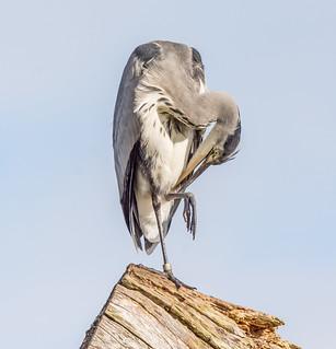 JWL2092  Grey Heron..