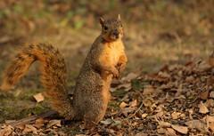 Squirrel, Cantigny Park. 50 (EOS) (Mega-Magpie) Tags: canon eos 60d nature wildlife outdoors cantigny park wheaton dupage il illinois usa america cute